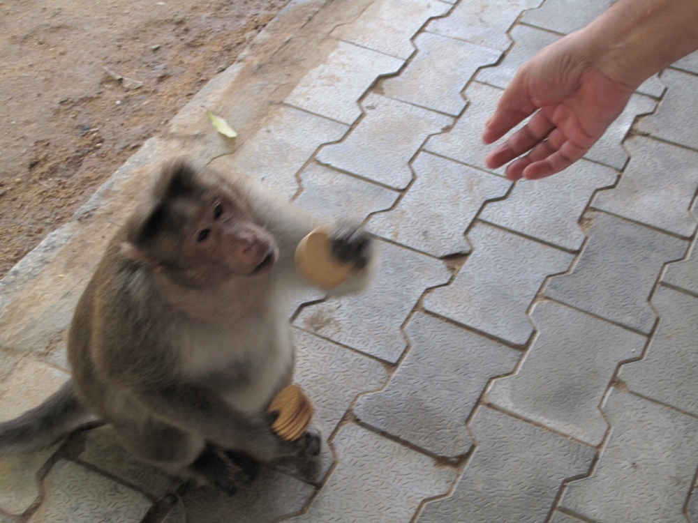 One ashram office staff member loves feeding monkeys biscuits and chocolates; he is not interested whether this is bad for the monkeys' health. He says Let them enjoy!